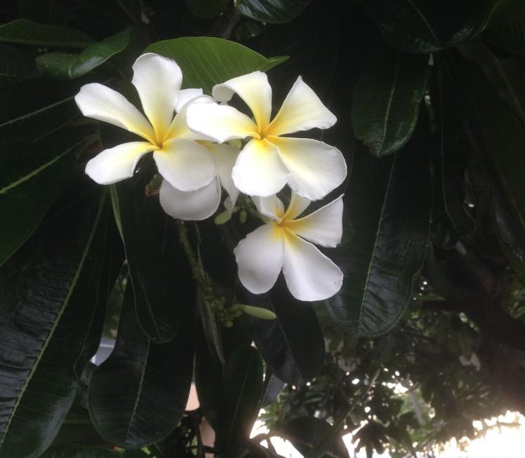 Plumeria flowers on Kona, Hawaii (credit: Christina Williamson)
