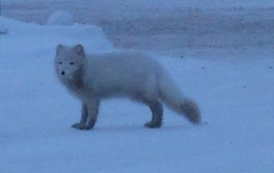 Arctic Fox on Thule Air Base, Greenland (credit: Christina Williamson).
