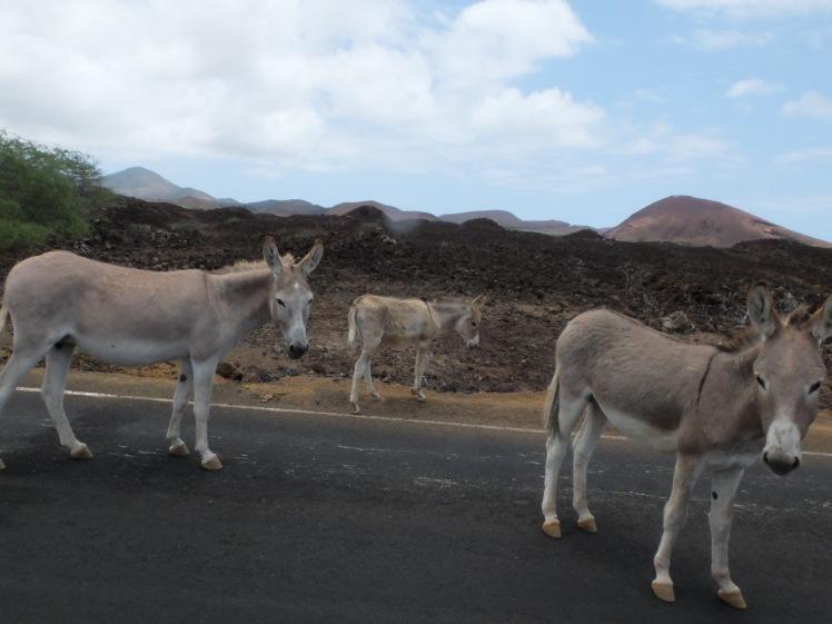 Feral donkeys on Ascension Island (credit: Christina Williamson)