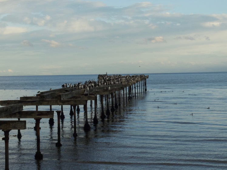 Cormorants in Punta Arenas, Chile